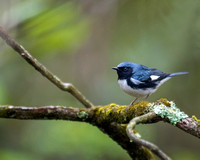 Textures (Black-throated Blue Warble)