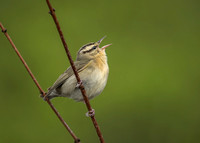 Singing to the Mountains (Worm-eating Warbler)