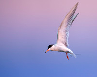 Blue Hour (Forster'sTern)