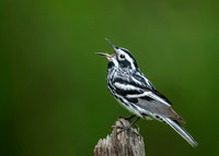 Black and White Profile (Balck-and-white Warbler)