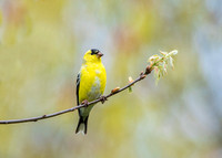 Pastel (American Goldfinch)