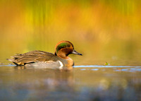 (Green-winged Teal)
