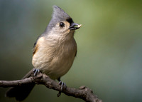 Seed (Tufted Titmouse)