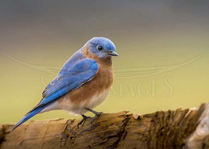 "skeysimges, ""scott keys"", ""eastern bluebird"", bluebird, perch, fench, soft, bird, photography"