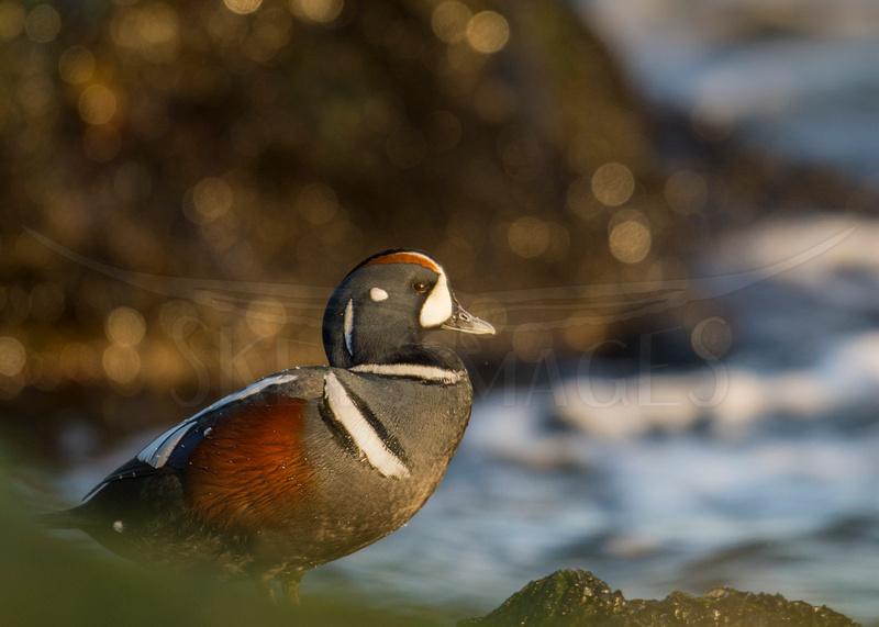 (Harlequin Duck)