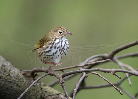 Careful Steps (Ovenbird)