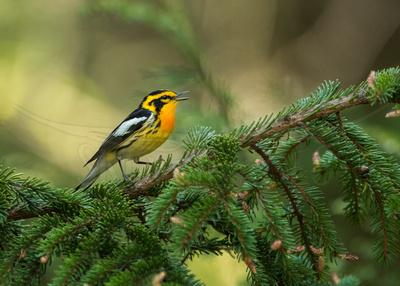In Spruce (Blackburnian Warbler)