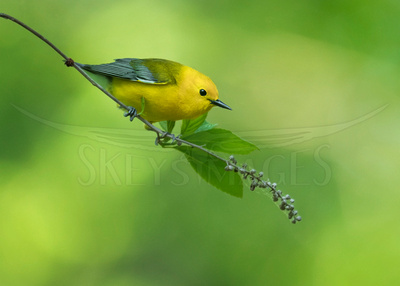 Prothonotary on Slight Perch (Prothonotary Warbler)