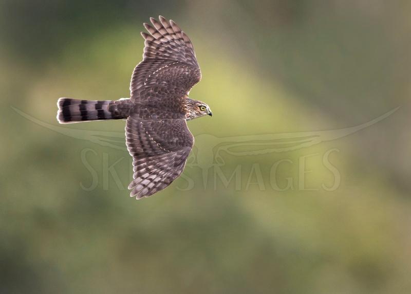 Topside (Sharp-shinned Hawk)