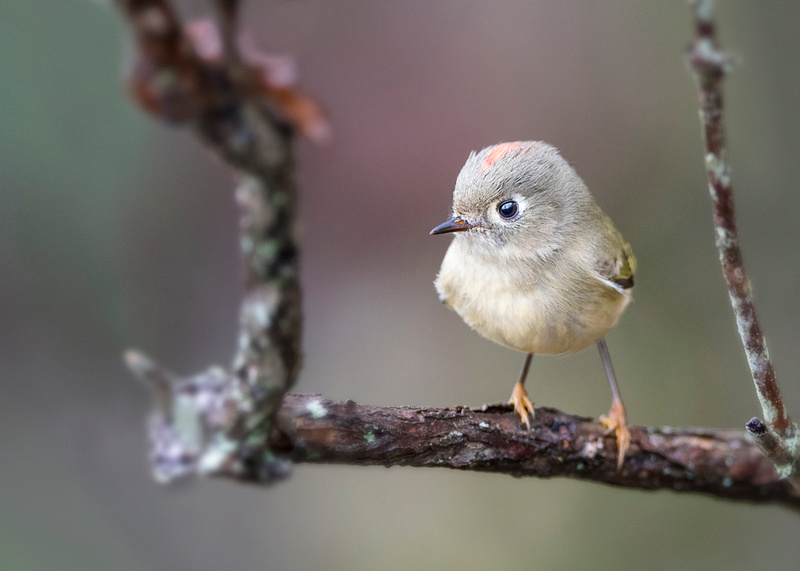 On a Swingset (Ruby-crowned Kinglet)