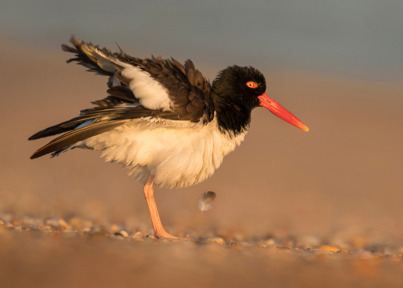 Feather (Oystercatcher)