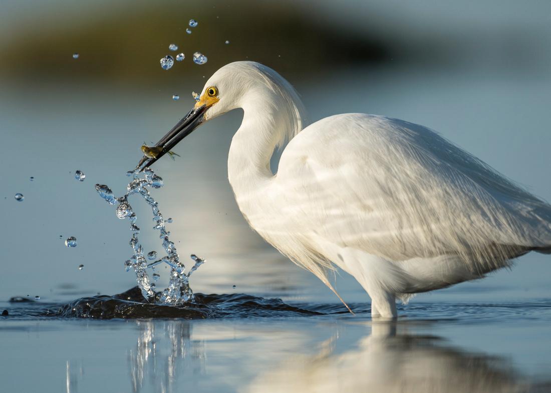 Frozen (Snowy Egret)