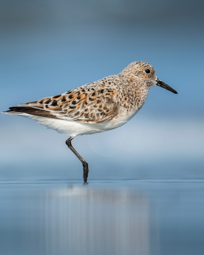 Tippy Toe (Sanderling)