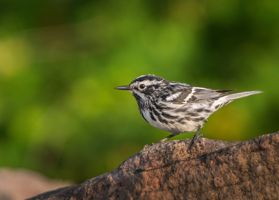 At the Lookout (Black-and-white Warbler)