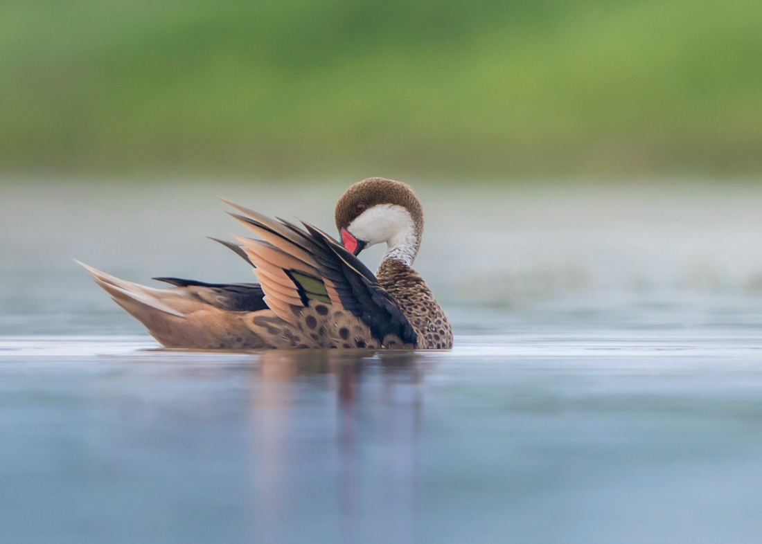 Pintail in Soft Lght (White-cheeked Pintail)