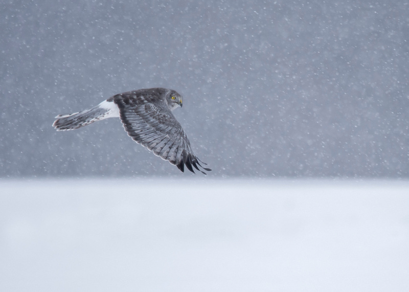Horizon Hunter (Northern Harrier)