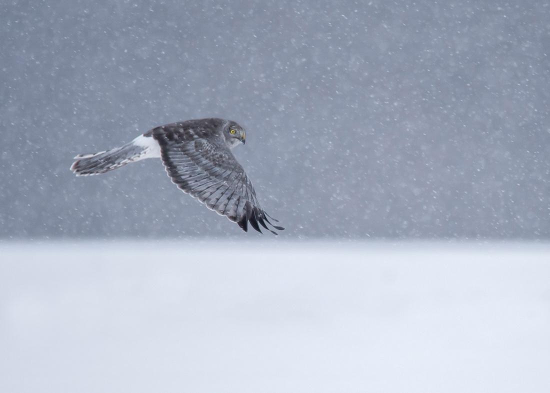 Horizon Hunter (Northern Harrier)