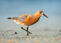 (Red Knot)