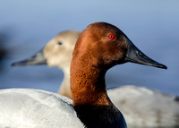 (Canvasback)